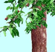 Ecology :: let's not lose them :: Sandalwood